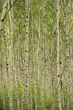 白桦还是俄罗斯的国树,同名的歌曲《白桦林》就是俄罗斯风格的.