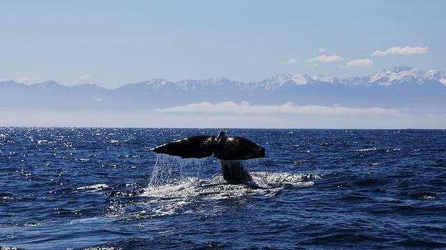 观鲸方式一:Whale Watch Kaikoura (乘船) 介绍:凯库拉观鲸公司 (Whale Watch Kaikoura) 是新西兰唯一可以全年带领游客在自然环境中近距离观赏世界上最大的有齿掠食性动物巨型抹香鲸的海上观鲸公司。观鲸公司无法保证在观鲸之旅中一定能看到鲸鱼,但看到鲸鱼的概率是非常高的。如果在行程中没有看到鲸鱼的情况下,会保证将退还80%%的款项。 观鲸取决于良好的海洋和气候条件,船长将在登船前10分钟通知本次行程是否可以出航。在预定台和咖啡店里的显示屏上会显示每个航次的状态。如果行程