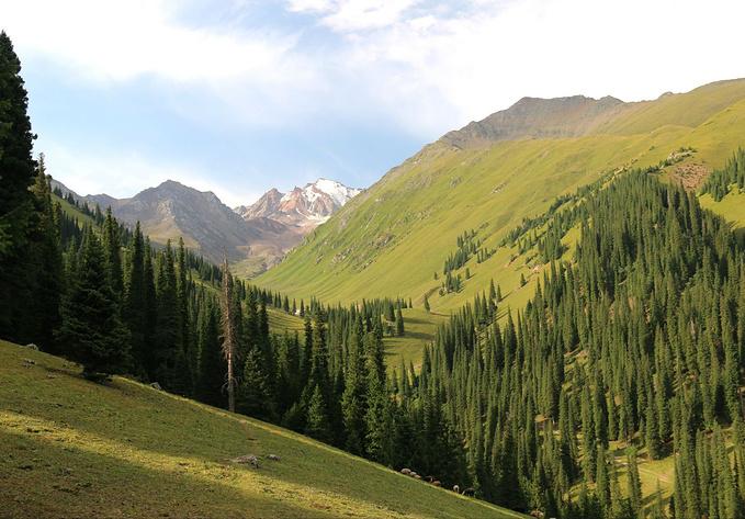 草原雪松以及远处的雪山