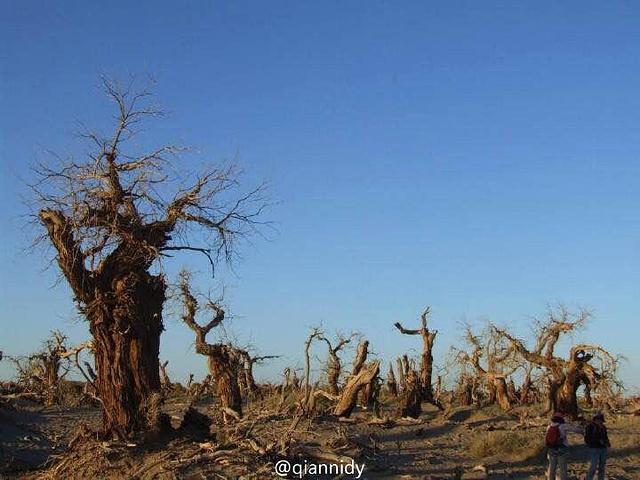 怪树林警世林 一片旱死的胡杨林传说胡.