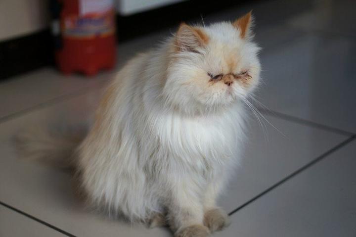 酒店的咖啡猫,胖嘟嘟好可爱