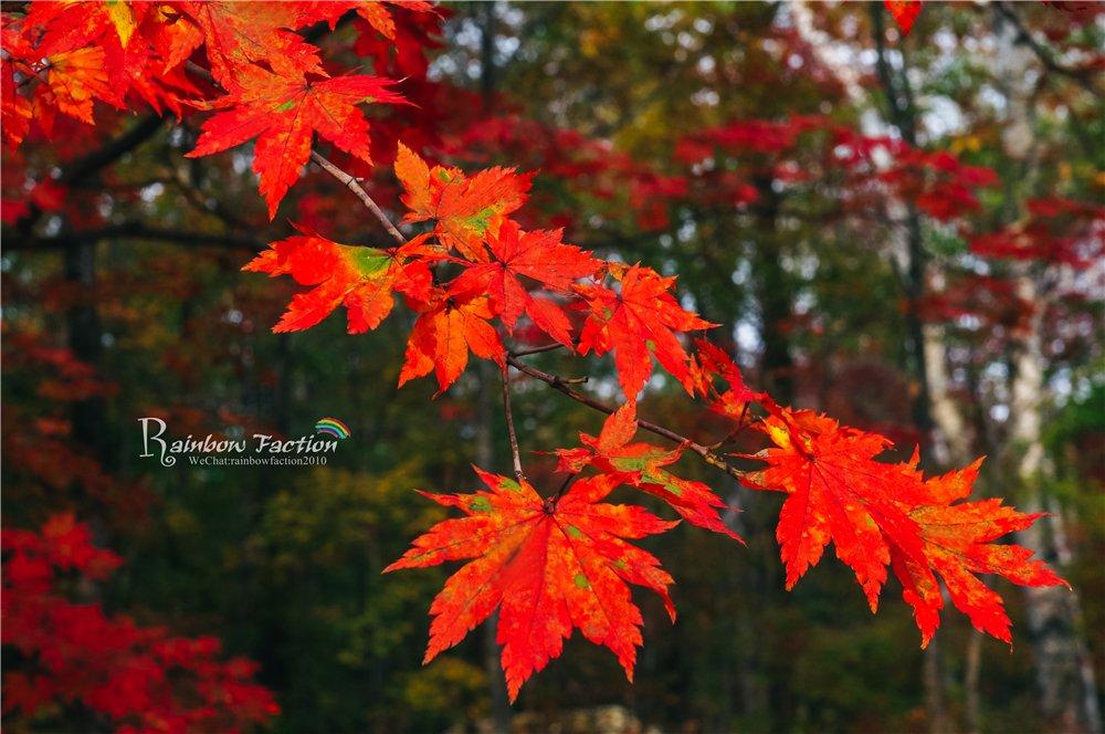 吉林最美红叶季,森林红叶暖秋之旅