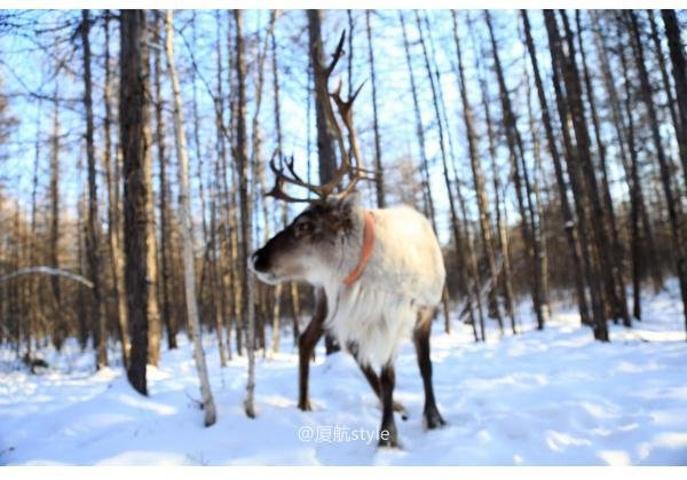 驯鹿善于穿越森林和沼泽地,是狩猎鄂温克猎人的主要生产和交通运输