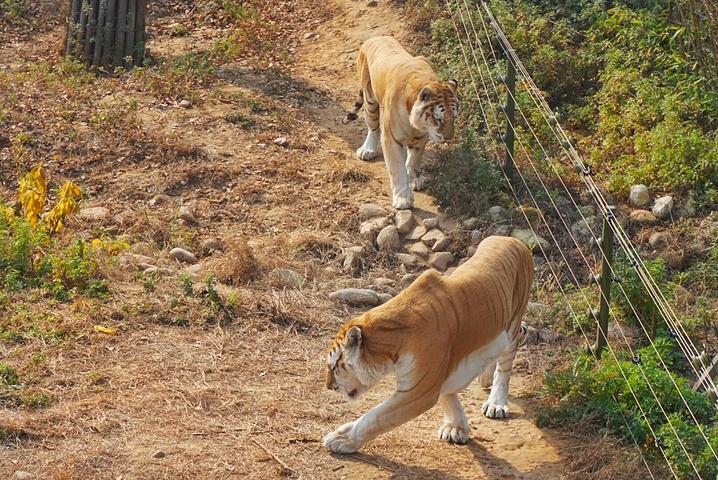 树叶动物贴画老虎