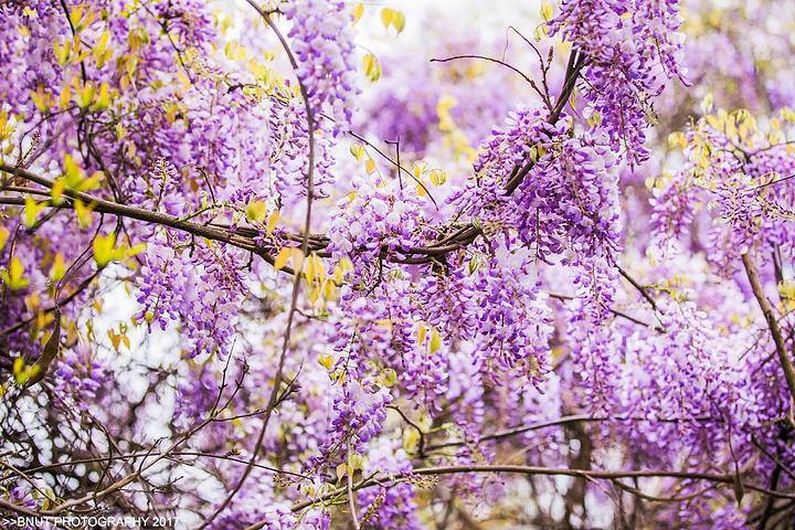 特别是温暖春天,遍布公园各处的花树花卉竞相绽放交织演绎成缤纷花海.