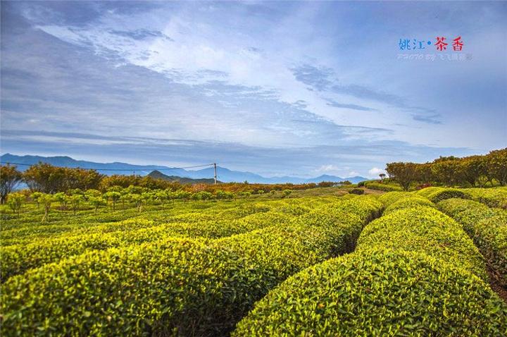 春天山区的景色总是那么美不胜收.小小的茶叶,清香的美