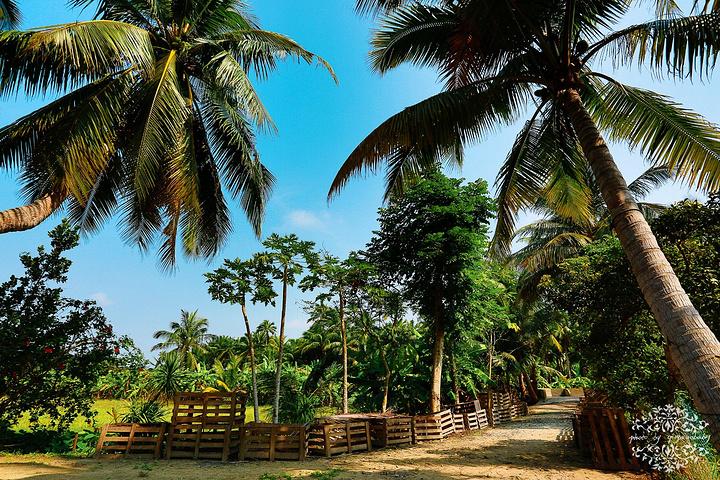"""东郊椰林风景名胜区位于海南省北部的文昌市清澜港东岸,素有""""文昌椰子"""