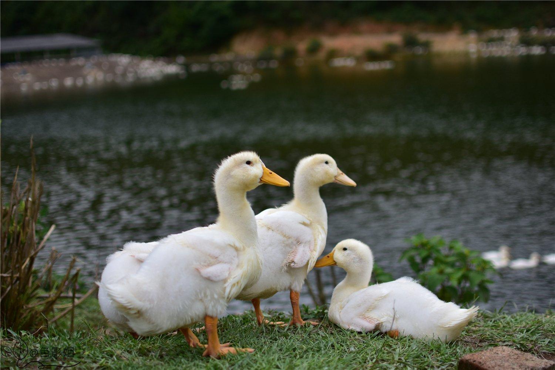 小小的翅膀,嫩黄黄的小扁嘴小脚掌,哇,你们真的太可爱了!
