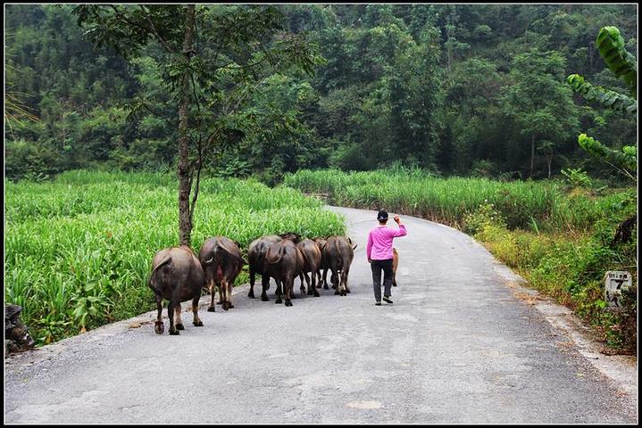 赶牛的人,飞扬的手鞭,一声指令,牛儿就往公路边去.