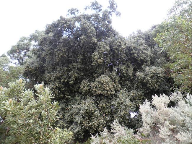 这是一棵巨大的野生橄榄树.果实累累