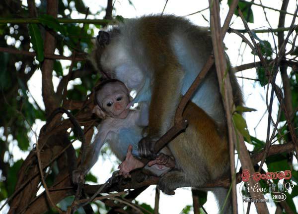 吃奶的小猴子好可爱呀!