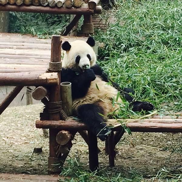 壁纸 大熊猫 动物 600_600