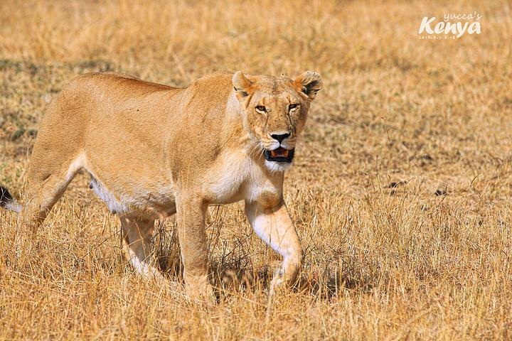 allan说,这只母狮快有小宝宝了. 祝你生一窝可爱的小狮子