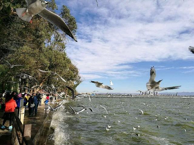 2017河南的海埂公园,群情激奋的红嘴鸥令人震小吃美食特色商丘滇池图片