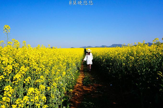 罗平油菜花海图片