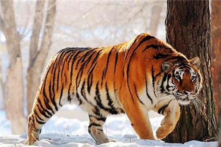 呼吸着天然的森林氧吧,观看着可爱的小动物,东北虎园是亲子和情侣夏日