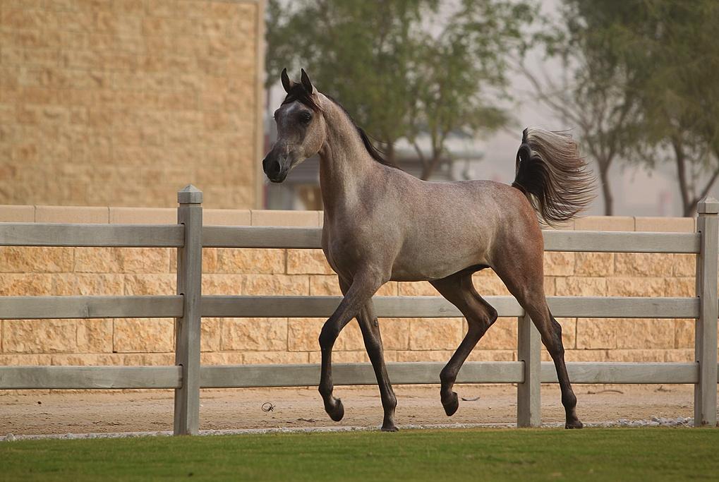 shaqab 畜牧农场旅游景点图片