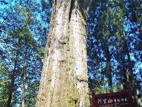 阿里山神木旅游景点图片