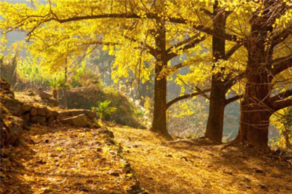 每逢深秋初冬,银杏树叶片金黄,秋风袭来,金叶飘然,满地都是散金碎银.