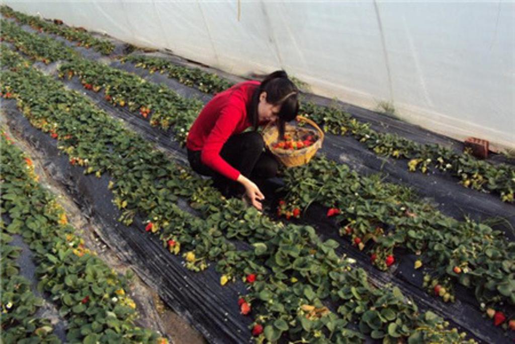 2016青浦草莓园小苹果农家乐
