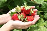草莓采摘行