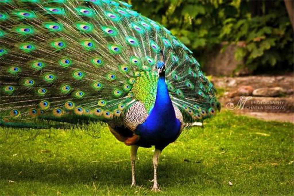 蓝孔雀又名印度孔雀,雄鸟颈部为宝蓝色,尾屏绿色,富有金属光泽,分布在印度和斯里兰卡。绿孔雀又名爪哇孔雀,分布在东南亚。此外,蓝孔雀还有白孔雀和黑孔雀两种变异种。群居在热带森林中或河岸边,羽毛可做装饰品。孔雀,鸡形目、雉科两种羽衣非常华美的鸟类的统称。孔雀属的两个种是印度和斯里兰卡产的蓝孔雀即印度孔雀和分布自缅甸到爪哇的绿孔雀即爪哇孔雀。雄鸟具直立的枕冠,羽色华丽,尾上覆羽特别延长,远超过尾羽。具20枚尾羽,形长而稍呈凸尾状;尾下覆羽为绒羽状;两翅稍圆,第1枚初级飞羽较第10枚短,第5 枚稍微最长;跗蹠长而