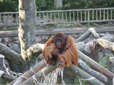 红山森林动物园猩猩馆