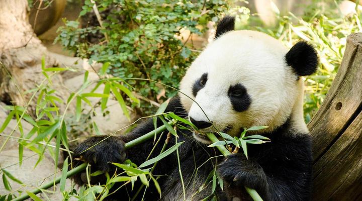 熊猫旅游图片