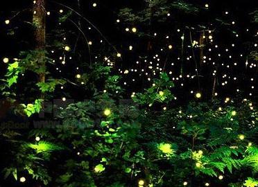 每年四月份,萤火虫在大阿里山地区闪闪发光,大阿里山区位于丘陵与