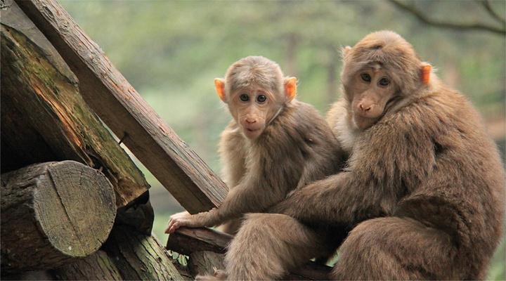 峨眉山灵猴旅游图片