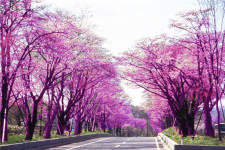 樱花树街道旅游攻略