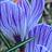 蓝色荆棘花