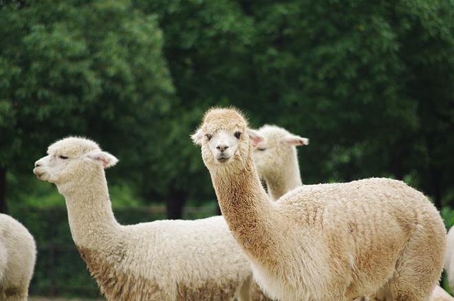 淹城野生动物园羊驼