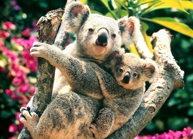 考拉等各种可爱的小动物