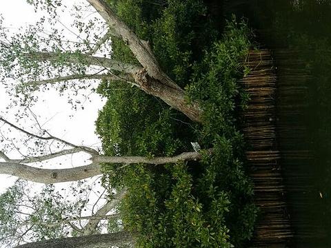 八门湾红树林旅游景点图片