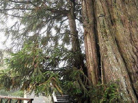 碧绿神木旅游景点图片