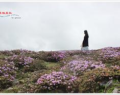 【暖、花开半夏】一花一山一世界—香格里拉