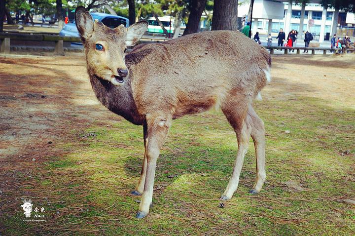 """""""奈良公园~鹿的天堂!_奈良公园""""的评论图片"""
