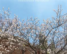 【马玛丽旅行志】文化苦旅齐山行  在这里樱花遍野江山尽入画