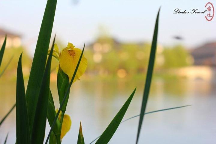 """""""虽然是很好很好的意图,但是拍照的时候有一点煞风景。这么多美丽的黄菖蒲围绕在河边。既古老又现代_真如禅寺""""的评论图片"""
