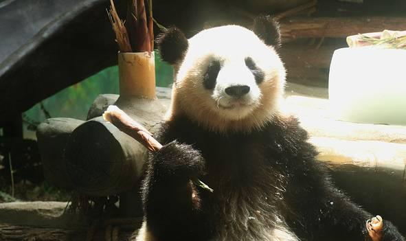 都要吃200斤竹笋?吃货大熊猫兄弟的日常生活