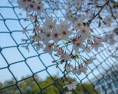 上海2日樱花赏