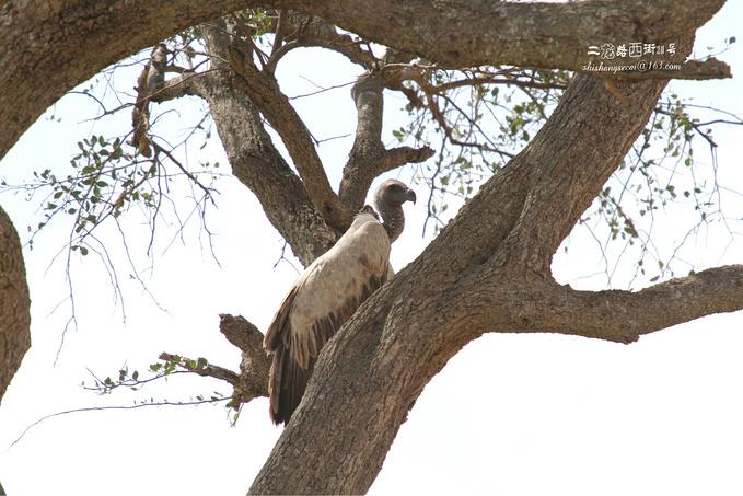马赛马拉国家保护区图片
