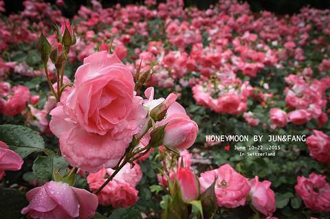 玫瑰园的图片