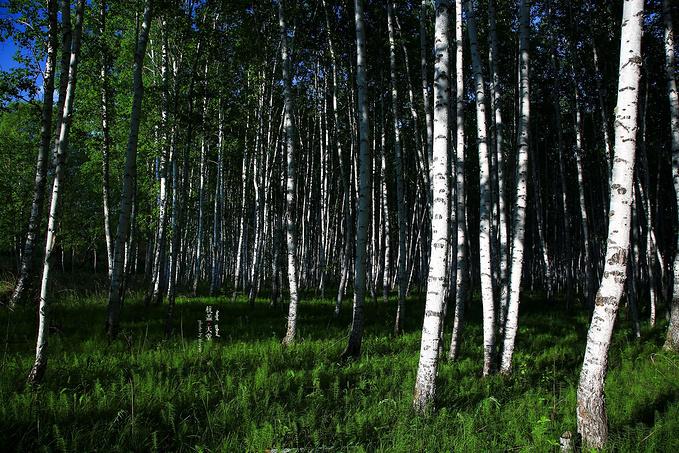 白桦林景区图片
