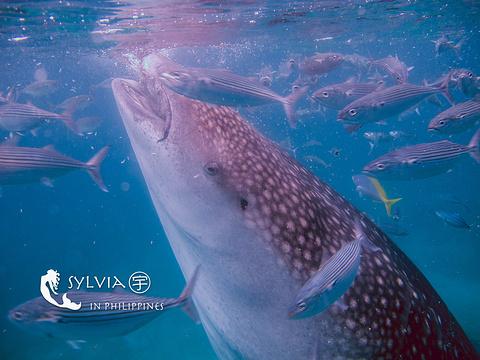 奥斯洛布鲸鲨观赏点