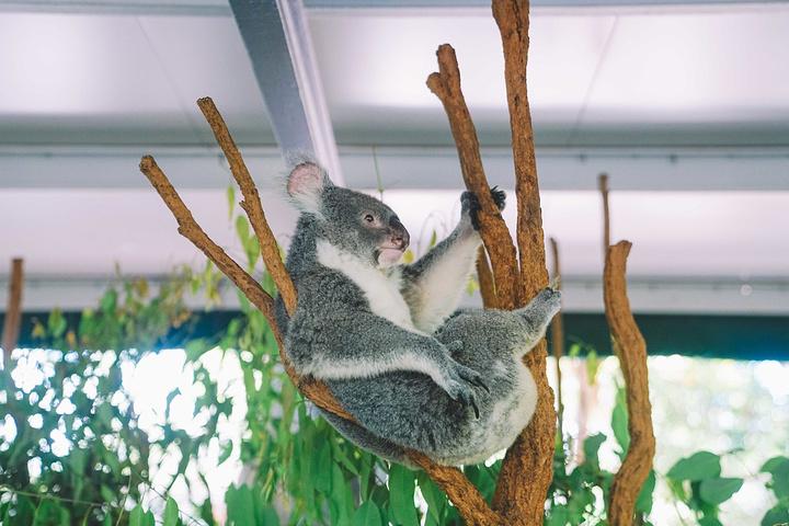 """""""这里是世界排名前十的动物园,是世界上最早..._龙柏考拉保护区""""的评论图片"""