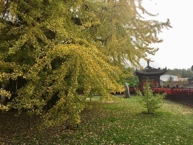 """""""古树确实保护的很好,枝叶茂盛,满树黄叶,确实壮观。加之今天秋风气爽,阳光明媚,照片也是格外的金灿灿_古观音禅寺""""的评论图片"""