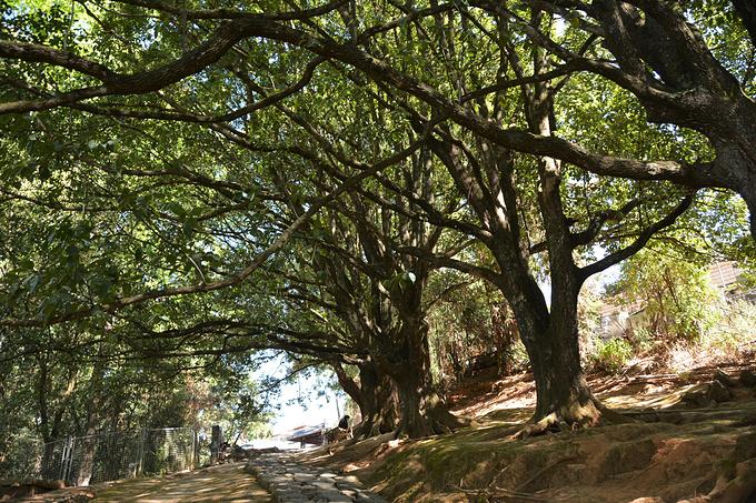 千手观音古树群图片
