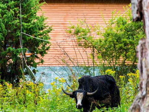 鲁朗花海牧场旅游景点图片
